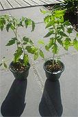 Die ersten Tomaten ausgesetzt (Bildquelle: Henr)
