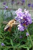 Biene am Lavendel (Bildquelle: Henry)