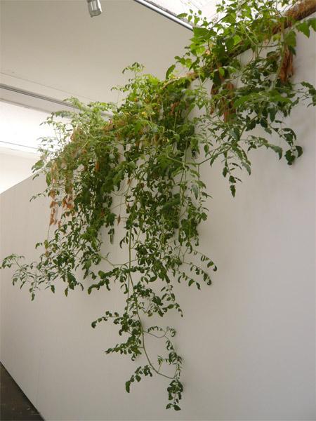 2009 september archiv tomaten tomatl. Black Bedroom Furniture Sets. Home Design Ideas
