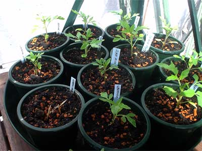 Black Plum, Valencia und Berner Rose (Bildquelle: Henry)