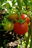 Tomate Cerise (Bildquelle: Henry)
