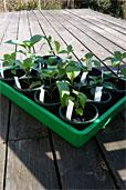 Chilis abhärten (Bildquelle: Henry)