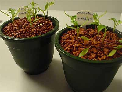 Chilis und Pfefferonis nach zwei Monaten (Bildquelle: Henry)