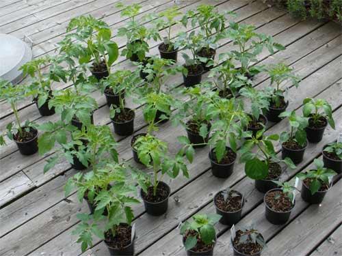 vieeele tomatenpflanzen f rs freiland gekauft. Black Bedroom Furniture Sets. Home Design Ideas