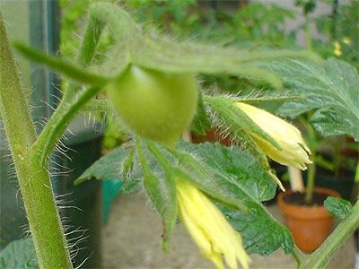 Die erste Tomate bei der 'Paul Robson' (Bildquelle: Henry)