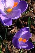 Frühlingsblumen (Bildquelle: Henry)