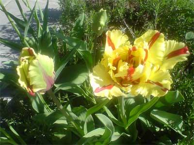 Gelbe Tulpe (Bildquelle: Henry)