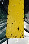 Gelbtafel mit Mücken (Bildquelle: Henry)