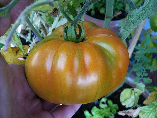 Die German Gold Ist Heuer Die Größte Tomate Tomatlnet Tomaten