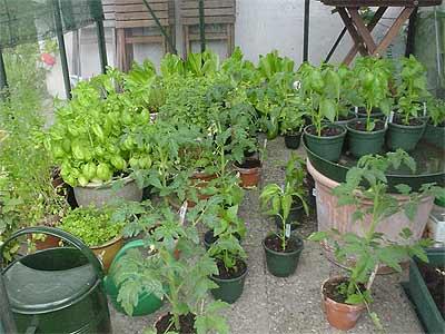 bessere organisation im glashaus notwendig tomaten tomatl paradeiser. Black Bedroom Furniture Sets. Home Design Ideas