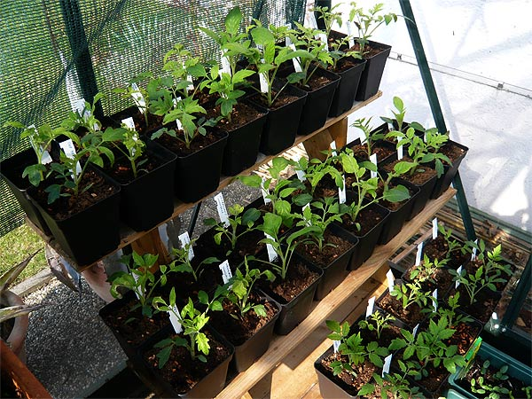 tomatenpfl nzchen ins glashaus bersiedelt tomaten tomatl paradeiser. Black Bedroom Furniture Sets. Home Design Ideas
