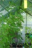 Tomaten im Glashaus am 10.7.07 (Bildquelle: Henry)