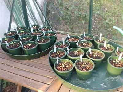 Pikierte Tomaten im Glashaus (Bildquelle: Henry)
