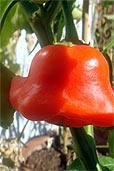 Roter Glockenpaprika (Bildquelle: Henry)