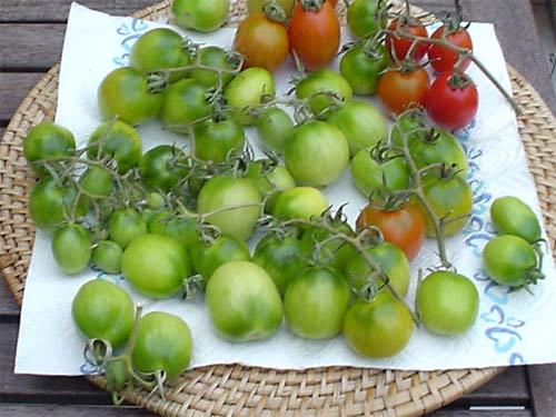 gr ne tomaten im schon k hlen herbst tomaten tomatl paradeiser. Black Bedroom Furniture Sets. Home Design Ideas