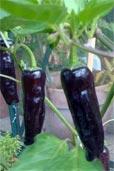 Jalapeño Purple (Bildquelle: Henry)