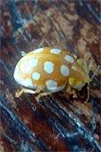 Unbekannter Käfer (Bildquelle: Henry)