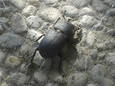 Schwarzer Käfer (Bildquelle: Henry)