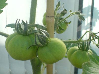 Tomate Marmande am 22.5.07 (Bildquelle: Henry)