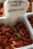 Ochsenherz Orange (Bildquelle: Henry)