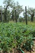 Tomaten und Olivenbäume (Bildquelle: Henry)