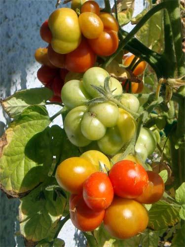 tomaten tomatl paradeiser part 25. Black Bedroom Furniture Sets. Home Design Ideas