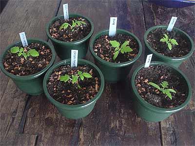 jetzt sind alle tomaten im glashaus tomaten tomatl paradeiser. Black Bedroom Furniture Sets. Home Design Ideas