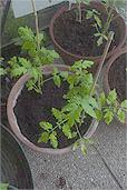 roma und green zebra in topf gepflanzt tomaten tomatl paradeiser. Black Bedroom Furniture Sets. Home Design Ideas