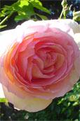 Rose (Bildquelle: Henry)