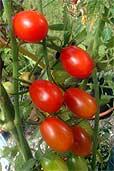 Rote Dattelwein-Tomate (Bildquelle: Henry)
