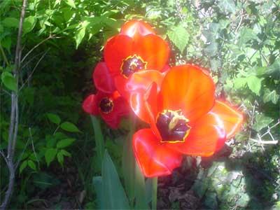 Rote Tulpe (Bildquelle: Henry)