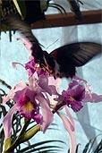 Schmetterling auf Orchidee (Bildquelle: Henry)