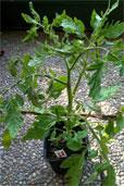 Tomate Schneeflocke (Bildquelle: Henry)