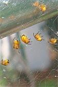 kleine gelbe spinnen im glashaus entdeckt. Black Bedroom Furniture Sets. Home Design Ideas