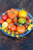 Tomaten-Ernte Ende Juli (Bildquelle: Henry)