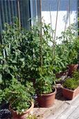 Terrassen-Tomaten 09 (Bildquelle: Henry)