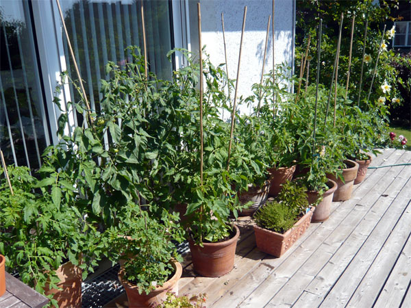 tomaten dschungel auf der terrasse tomaten tomatl paradeiser. Black Bedroom Furniture Sets. Home Design Ideas