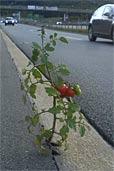Robuste Tomate (Bildquelle: Alwin Fries)