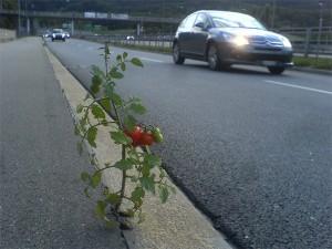 Tomate am Straßenrand (Bildquelle: Alwin Fries)