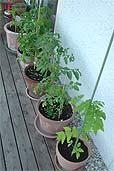 Tomaten am 13.5.2007 (Bildquelle: Henry)
