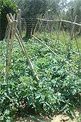 Tomaten in Umbrien (Bildquelle: Henry)