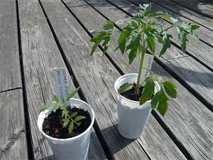 Tomaten-Wachstum (Bildquelle: Henry)