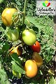 Tomaten bei Urlmüller's (Bildquelle: Urlmüller's)