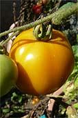 Tomate Valencia (Bildquelle: Henry)