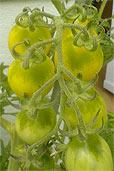 Ist diese Tomate nicht gut genug? (Bildquelle: Henry)